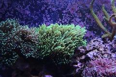LPS da tocha de Euphyllia corais Fotos de Stock