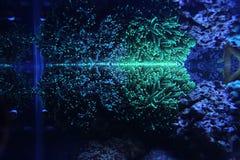 LPS de torche d'Euphyllia de corail Photographie stock libre de droits