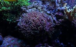 LPS de torche d'Euphyllia de corail Images libres de droits