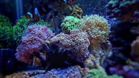 Lps dos glabrescens de Euphyllia corais Imagem de Stock