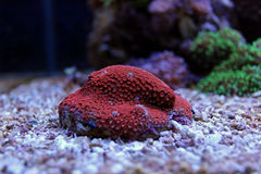 Lps vermelhos de Goniopora corais Fotos de Stock Royalty Free
