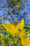 Lírio amarelo das flores Fotografia de Stock