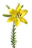 Lírio amarelo isolado no branco Fotos de Stock Royalty Free