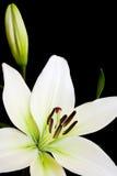 Lírio branco com espaço da cópia Foto de Stock Royalty Free