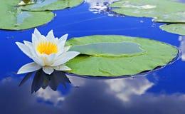 Lírio branco em um lago Fotos de Stock