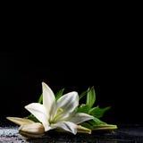 Lírio branco no preto Fotos de Stock Royalty Free