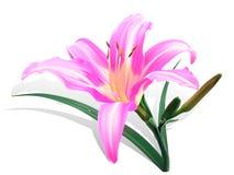Lírio cor-de-rosa brilhante Fotos de Stock Royalty Free