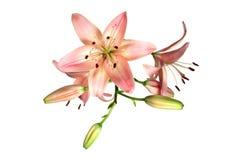 Lírio cor-de-rosa no branco Fotos de Stock Royalty Free