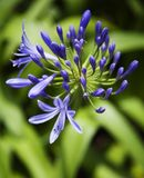 Lírio da flor de Nile. Fotografia de Stock Royalty Free