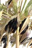 Lírio das sementes de Nile Imagens de Stock Royalty Free