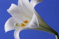 Lírio de Easter Fotografia de Stock