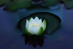 Lírio de água branca Fotografia de Stock