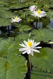 Lírio de água branca em uma lagoa Imagens de Stock