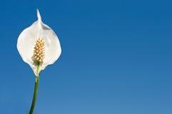 Lírio de paz no céu azul Imagens de Stock