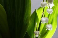 Lírio do vale e das folhas do verde Fotos de Stock Royalty Free
