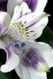 Lírio peruano branco e roxo do Alstroemeria - Imagens de Stock Royalty Free