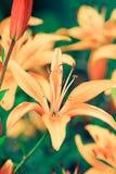 Lírios amarelos Foto de Stock