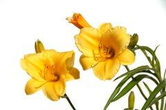 Lírios amarelos Imagem de Stock Royalty Free