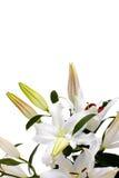 Lírios brancos com espaço da cópia Fotos de Stock Royalty Free