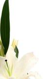Lírios de Easter Fotografia de Stock Royalty Free