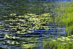 Lírios de água Fotos de Stock Royalty Free