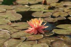 Lírios de água alaranjados da flor em uma lagoa (Nymphaea Sioux) Foto de Stock