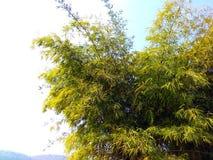 Lös art av bambu, satpura Indien Arkivbild
