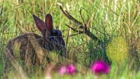 Lös europeisk kanin i högt gräs Royaltyfri Bild