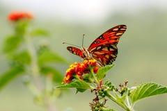 Lös fjärilsdropp Royaltyfri Foto