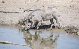Lös gemensam vårtsvin & x28; Phacochoerusafricanu& x29; på ett vattenhål Arkivfoton