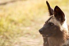 Lös hund - den Okavango deltan - Moremi N P Royaltyfri Foto