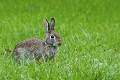 Lös kanin i grönt gräs Arkivbilder