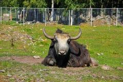 lös ko med stora horn Royaltyfria Bilder