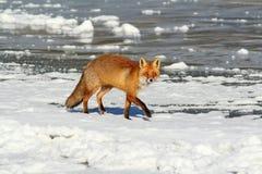 Lös röd räv på is Royaltyfri Foto