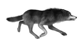 Lös varg på vit Royaltyfria Bilder