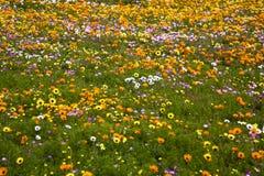 Lösa blommor för vår nära Cape Town Royaltyfri Foto