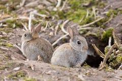 Lösa europeiska kaniner Arkivbild