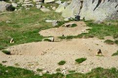 Lösa murmeldjur i den alpina ängen Arkivfoton