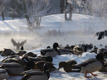 Lösa änder som flyger i vintern Royaltyfria Foton
