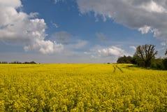 Ölsaat-Rapsfeld Stockfotos