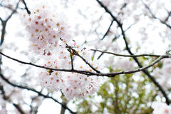 LSakura το ομορφότερο λουλούδι στην Ιαπωνία Στοκ Εικόνες