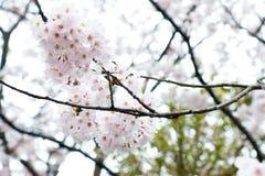 LSakura die schönste Blume in Japan Stockfoto