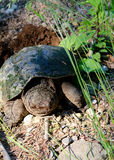 Låsande fast sköldpadda (chelydraen Serpentina) Arkivfoton