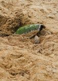 Låsande fast sköldpadda (chelydraen Serpentina) Arkivbild