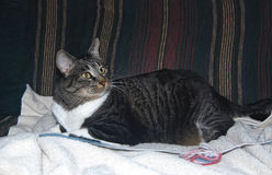 Låset som katt kan Royaltyfria Bilder