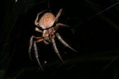läskig spindel för djur hårig natt Royaltyfri Bild