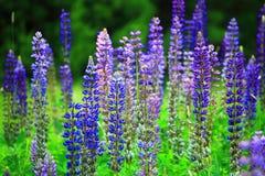 Löst blått Lupineblommafält Royaltyfri Bild
