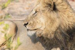 Löst lejon för vuxen man i Sydafrika Arkivbild