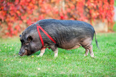 Löst svin i en parkera Arkivbild