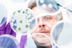 Älterer Biowissenschaftsforscher, der Bakterien verpflanzt. Stockfotos